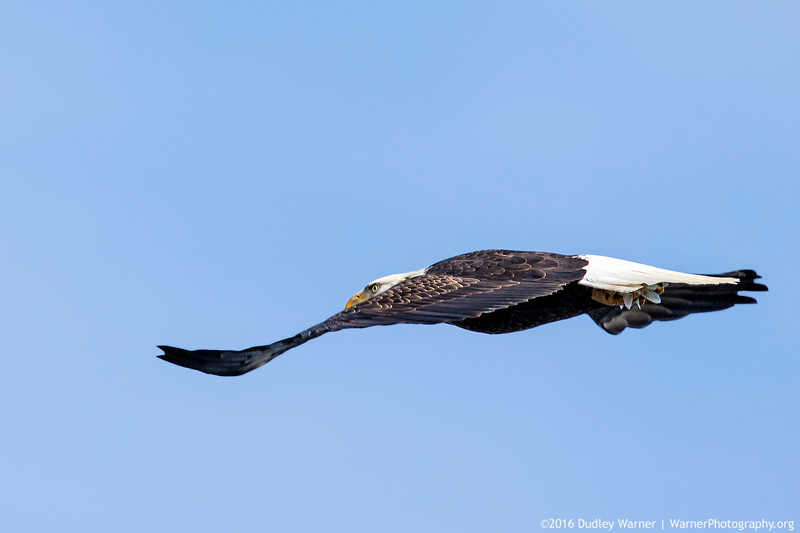 Bald Eagle Stealth