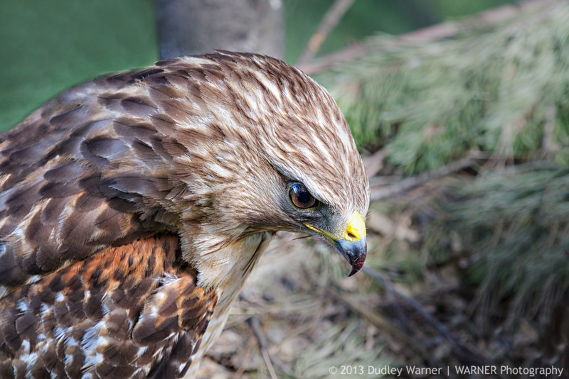 Female Red-shouldered Hawk on the Nest