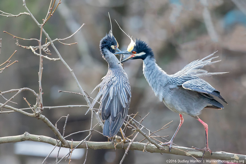 Yellow-crowned Night Heron Building Nest with Mate