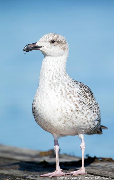 Great Black-backed Gull - Immature