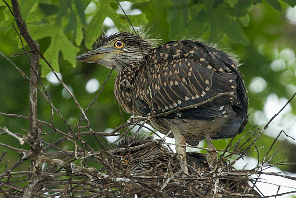 Black-crowned Night Heron - Adolescent