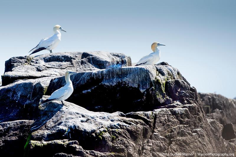 Northern Gannets on Machias Seal Island