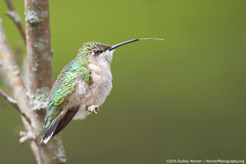 Ruby-throated Hummingbird - Tongue Extended