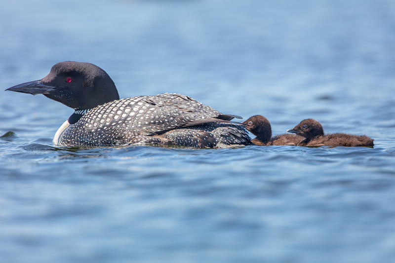 Female Loon and Week Old Chicks