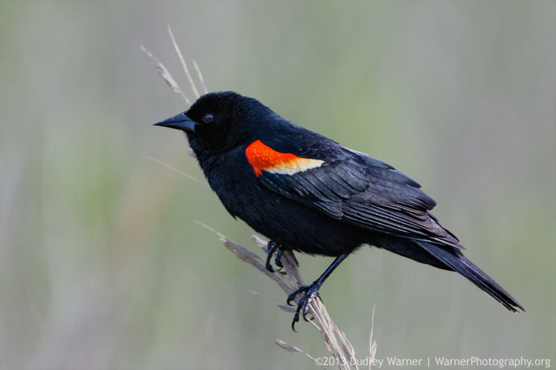 Red-winged Blackbird Perched