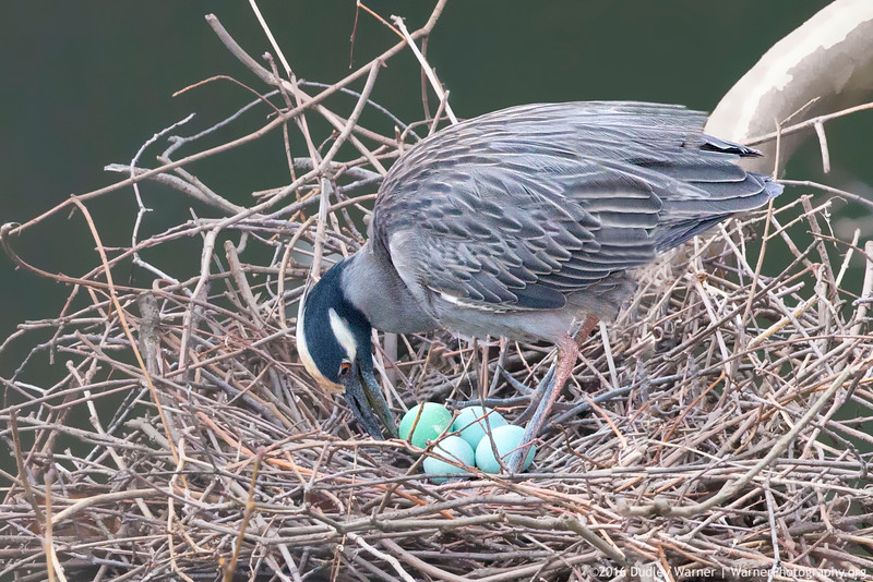 Yellow-crowned Night Heron with Eggs