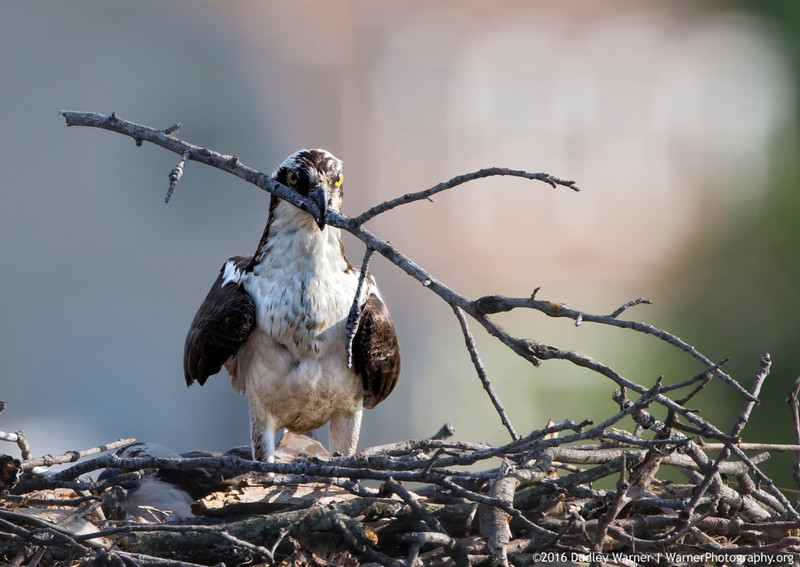 Osprey Doing Heavy Lifting