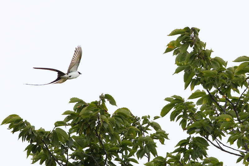 Fork-tailed Flycatcher in Flight