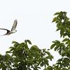Fork-tailed Flycatcher in Flight