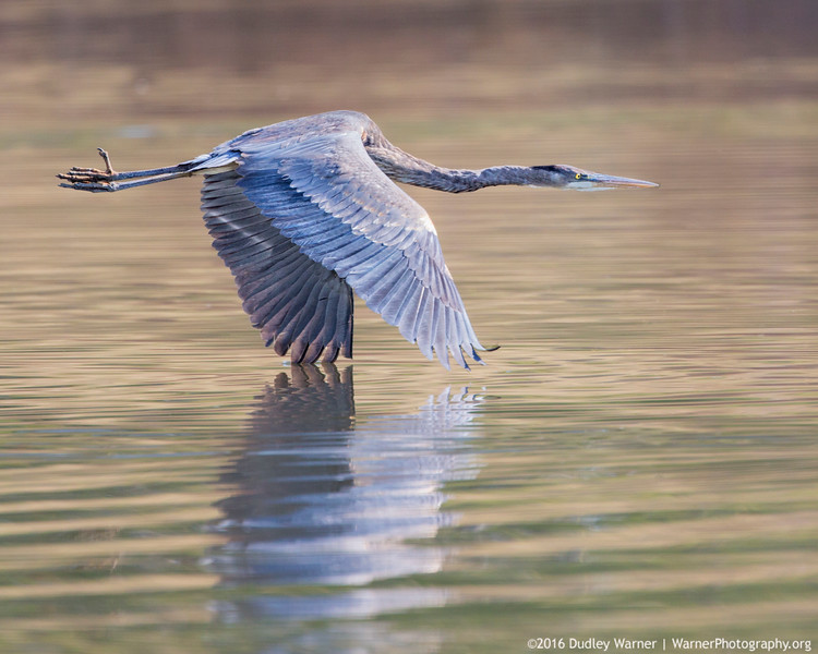 Great Blue Heron - Wing Tip Touch
