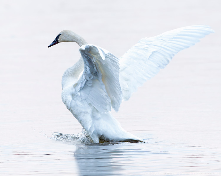 Trumpeter Swan - Winter Grace