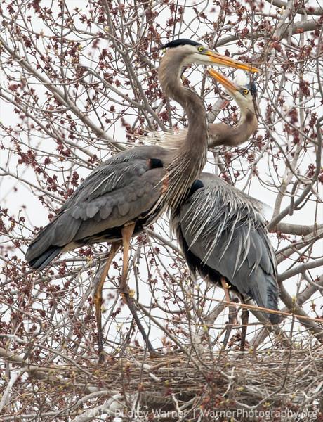 Heron Courtship