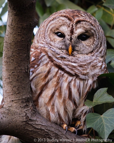 Barred Owl at Twilight