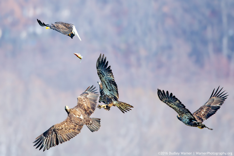 Eagles Battle for a Fish