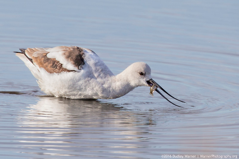 Avocet Catching a Fish