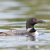 Male Loon with a Crayfish