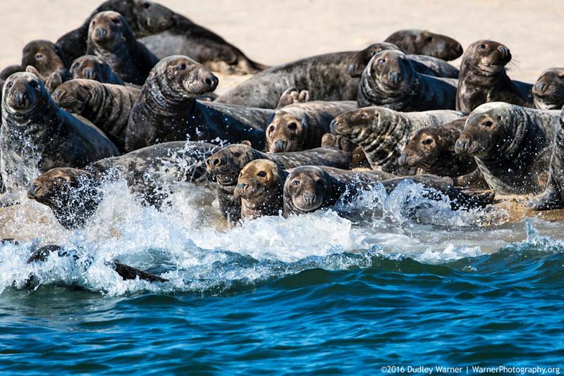 Gray Seals on a Sandbar