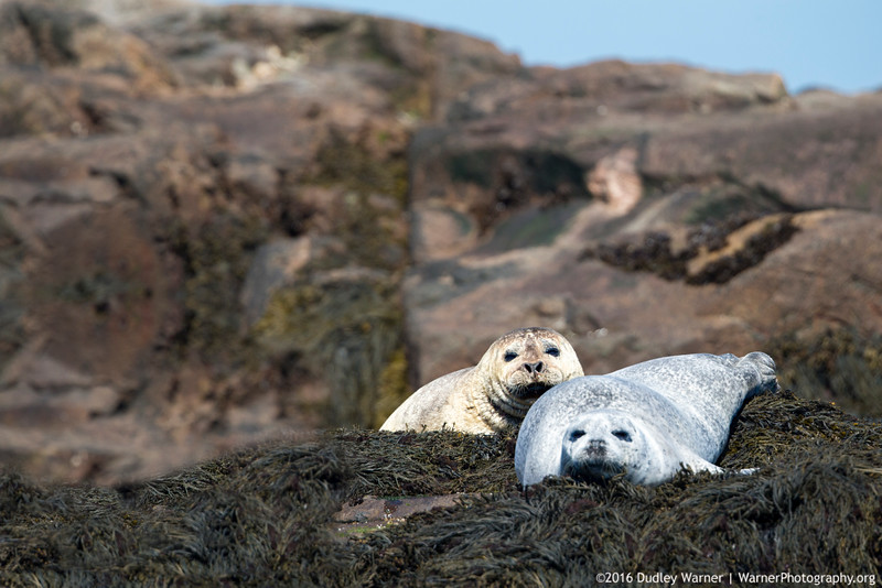 Harbor Seals Sunning