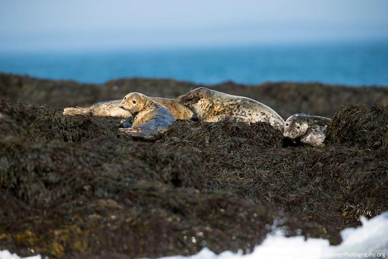 Harbor Seals at Rest