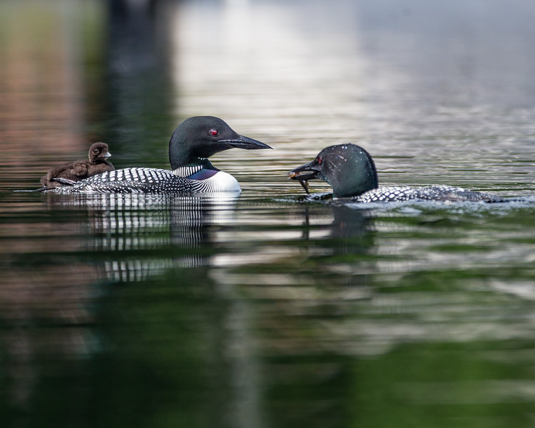 Loon Family Feeding their Chick