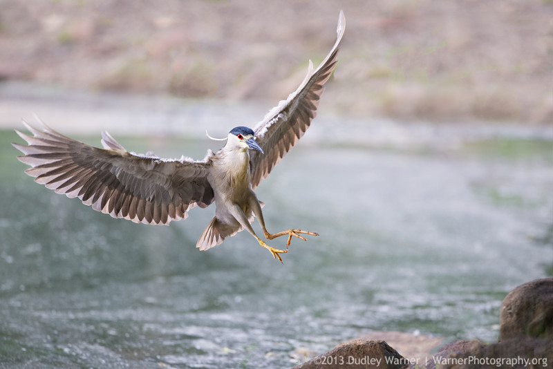 Black-crowned Night Heron Landing