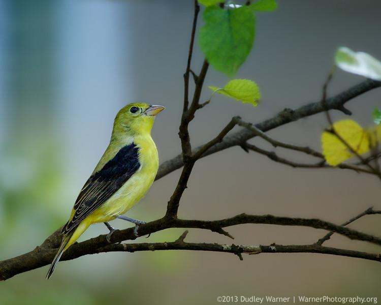 Scarlet Tanager - Female