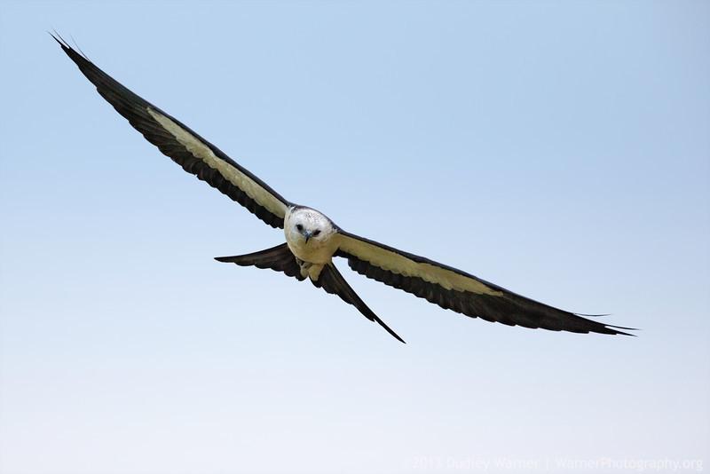 Swallowtail Kite Soaring