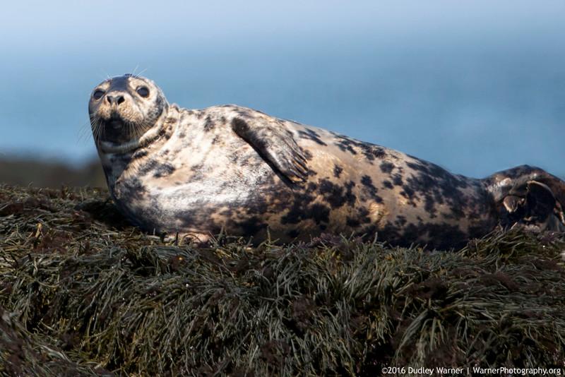 Harbor Seal Posing