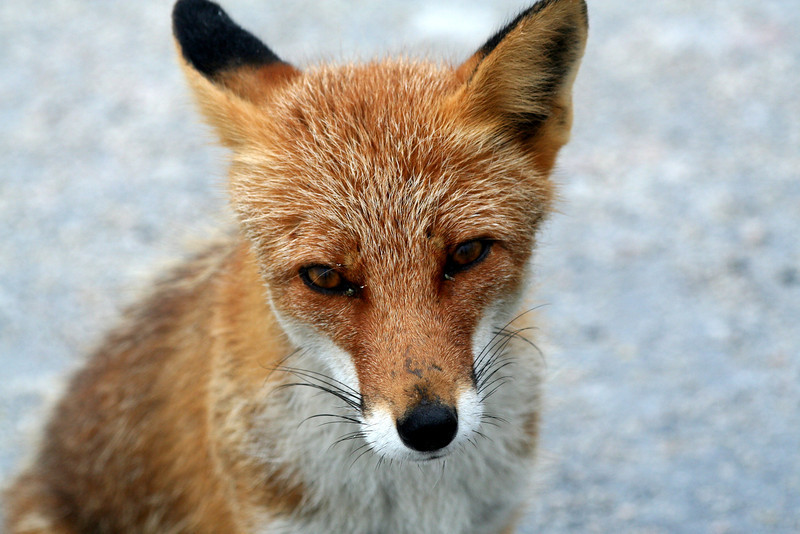 A habituated red fox (Vulpes vulpes japonica) asks for an egg.<br /> <br /> 北海道, 日本 2007