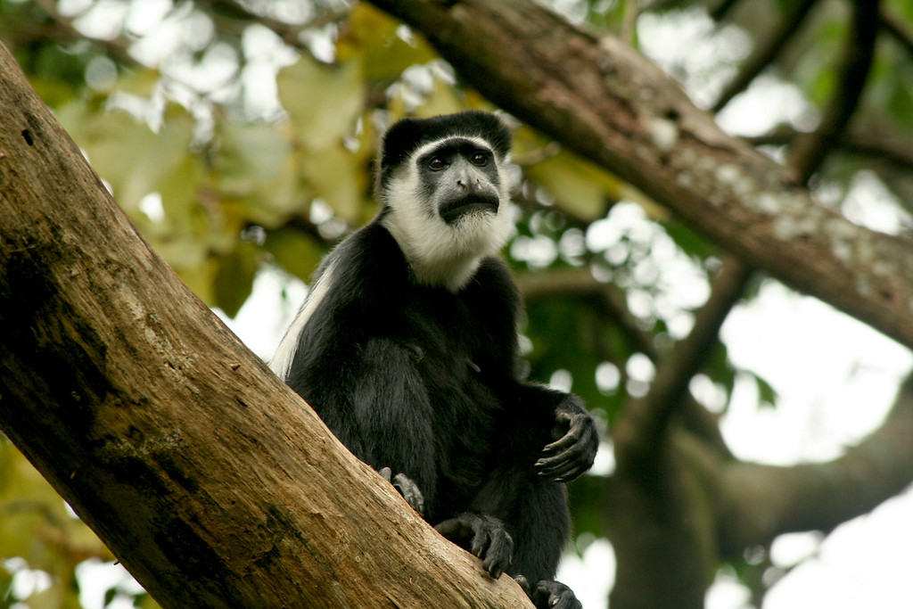 An Abyssinian black-and-white colobus (Colobus guereza), hopefully not as sad as she looks<br /> <br /> Kibale NP, Uganda