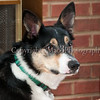 Gotta Love Ozzie the Border Collie!  Wickedly smart with a heart as big as all outdoors