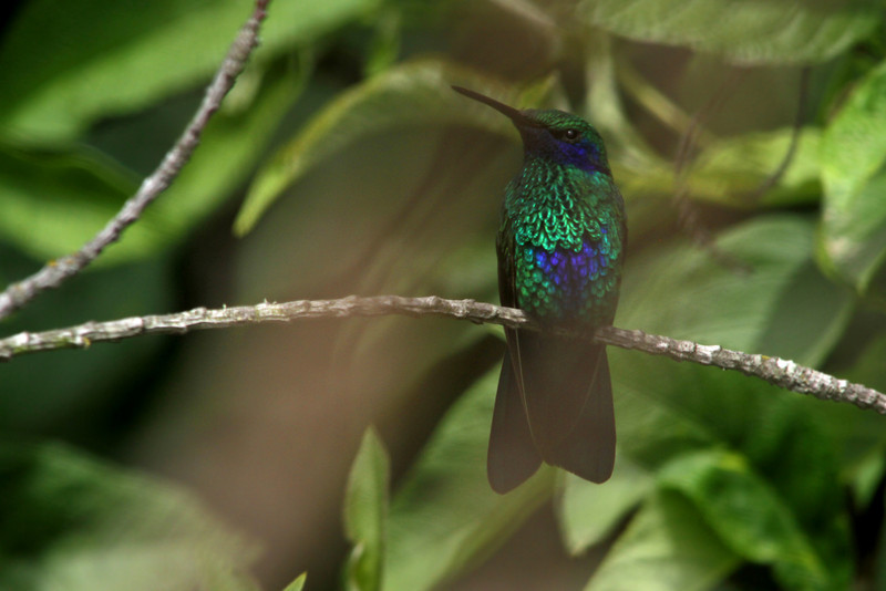 Purple-chested hummingbird (Amazilia rosenbergi), adorning my hosts' backyard<br /> <br /> Quito, Ecuador