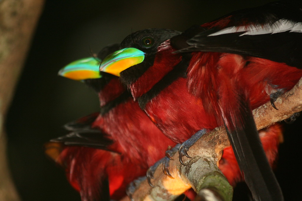 Black-and-red Broadbills (Cymbirhynchus macrorhynchos), roosting at night<br /> <br /> Kinabatangan, Sabah, Malaysian Borneo