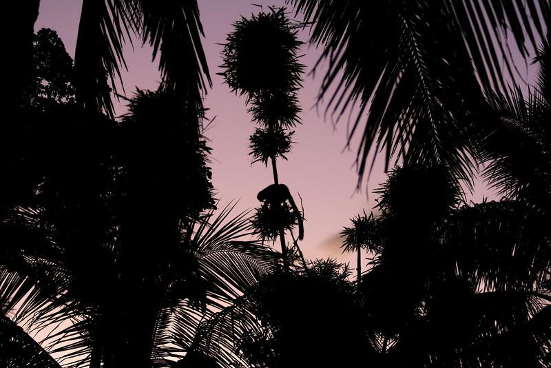 A lesser bamboo lemur (Hapalemur griseus) feeds at dusk<br /> <br /> Mananara Avaratra,  Madagascar