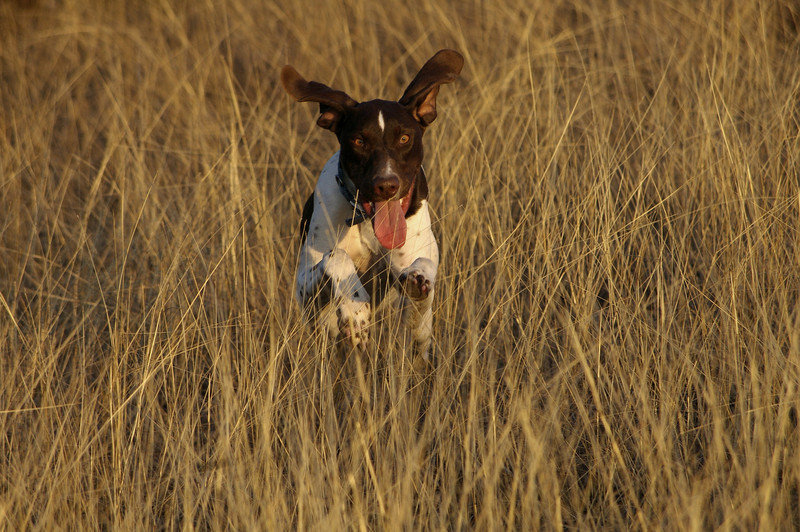 Wild dog. Riemy running near Lake Ray Hubbard (Jan 2007)