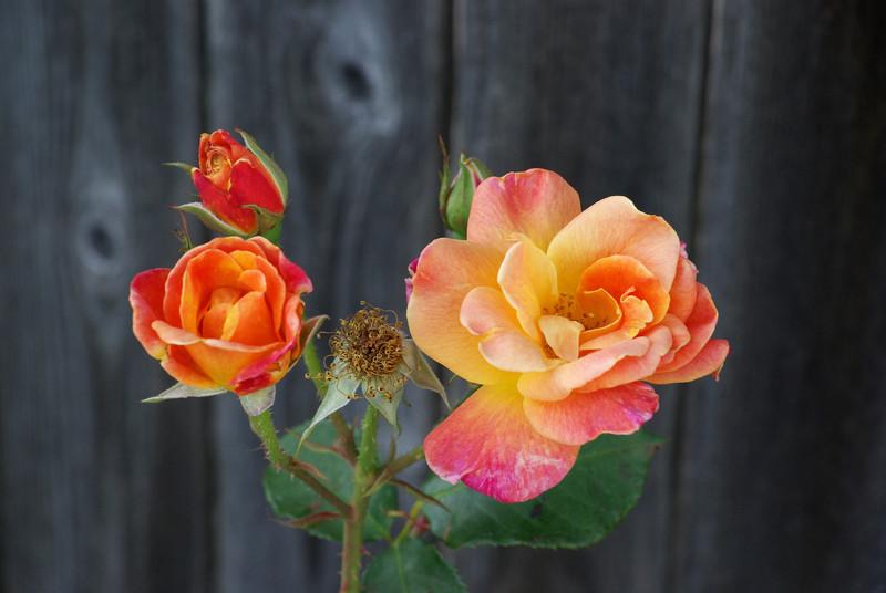 Domestic Rose (Apr 2010)