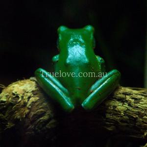 Green Tree Frog  694