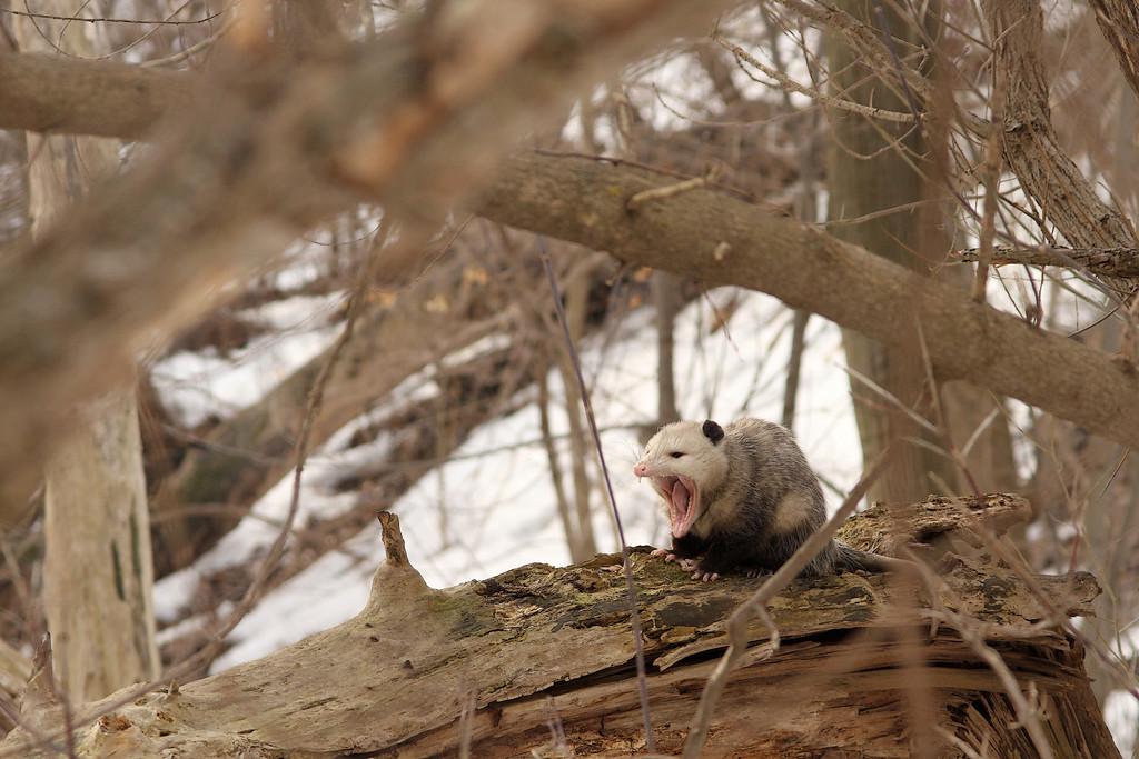 An urban opossum, about to go to sleep <br /> <br /> Milwaukee, WI
