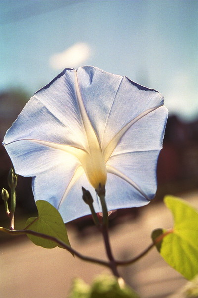 Morning Glory, Berlin, NH 2004