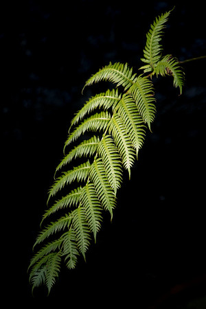In the Laurel forests of Madeira Island,  scientifically known as Woodwardia radicans,  this is the largest fern of laurel forests. Its fronds can reach 2.5 meters in length.