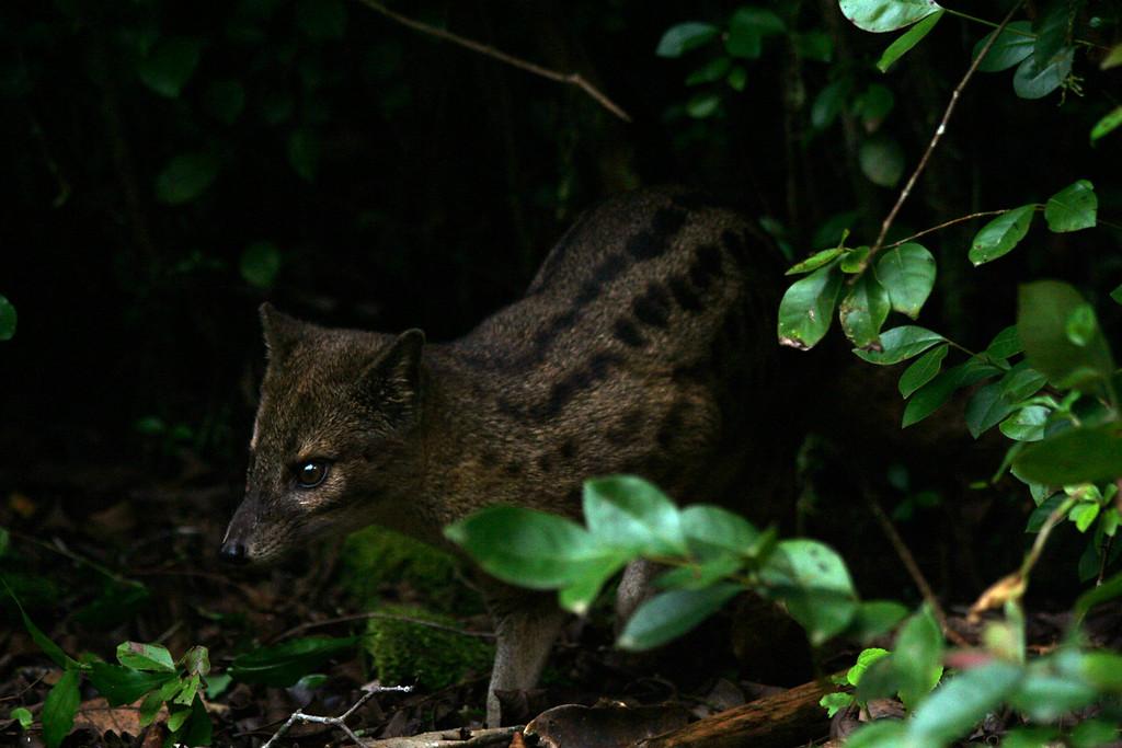 Fanaloka (Fossa fossana), or Malagasy  civet, hunting <br /> <br /> Ranomafana NP, Madagascar