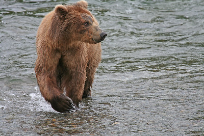Brown Bear.  Brooks Falls, Katmai National Park, Alaska.