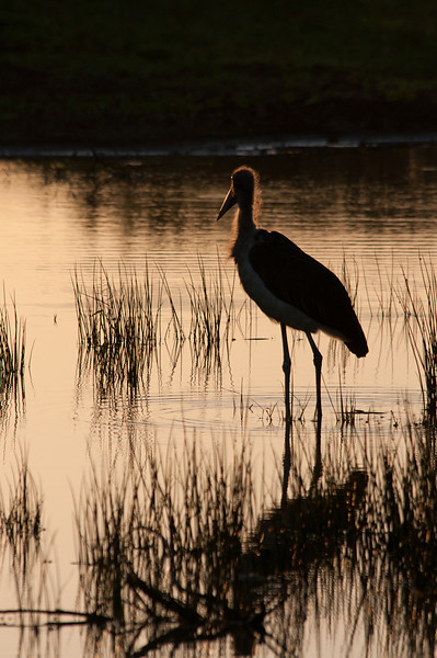 Woolly-necked Stork Sillouette