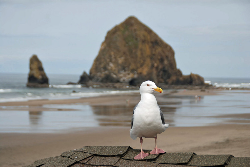 A seagull visited us during our stay at Cannon Beach, Oregon.