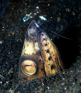 Blackfinned Snake Eel with Cleaner shrimp