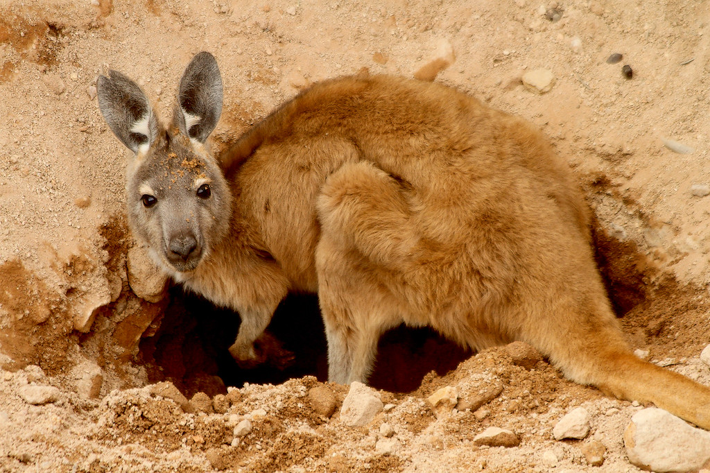 A wallaroo (Macropus robustus  erubescens) , or euro, digs up an old gnamma hole, looking for water<br /> <br /> The Outback, Western Australia
