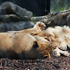 Male and female lions at Nemacolin zoo.