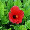 Bermuda flower.