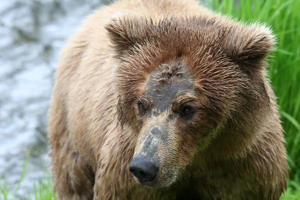 Brown Bear.  Brooks Falls, Katmai National Park, Alaska.