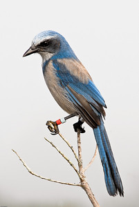 A banded Florida Scrub-Jay that is part of the long-term study of this species at Archbold Biological Station in Lake Placid, Florida